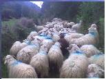 moutons-transhumance-1